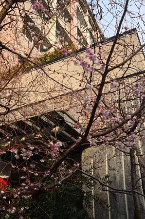 ビルの谷間に咲く御池桜