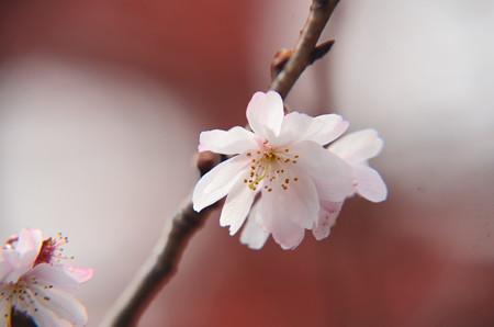 平野神社の桜 1