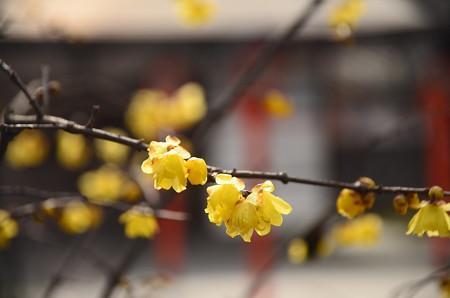 平野神社の素心蝋梅(ソシンロウバイ)
