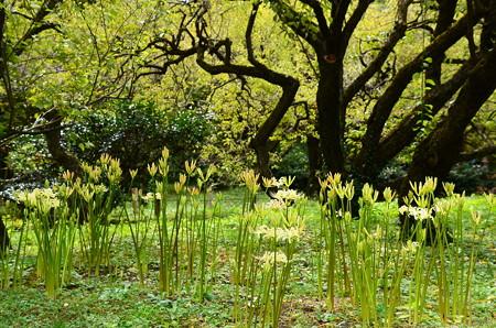 梅林の白花彼岸花(シロバナヒガンバナ)