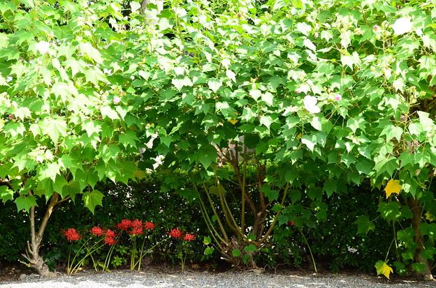 芙蓉の下の彼岸花