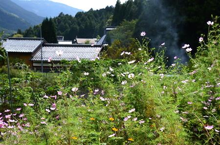 秋桜の大原