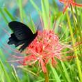 写真: 彼岸花にやって来たナガサキアゲハ