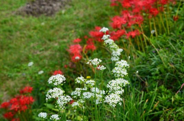 彼岸花の前に咲く花韮(ハナニラ)
