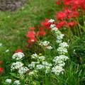 写真: 彼岸花の前に咲く花韮(ハナニラ)
