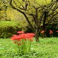 写真: 梅林の彼岸花
