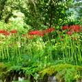 写真: 石垣の上の彼岸花