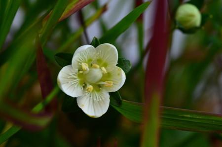 紅茅梅鉢草(ベニチガヤウメバチソウ)