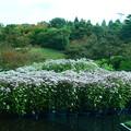 写真: 朱雀の庭の藤袴(フジバカマ)