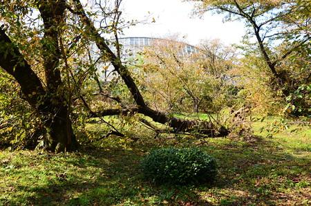 倒れた桜の木
