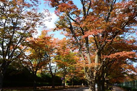 色付く欅並木
