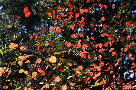 丸葉の木(マルバノキ)