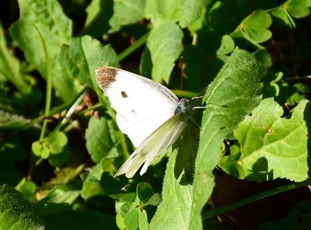 秋の紋白蝶(モンシロチョウ)
