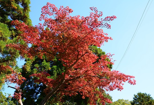 Photos: 墓地脇の紅葉