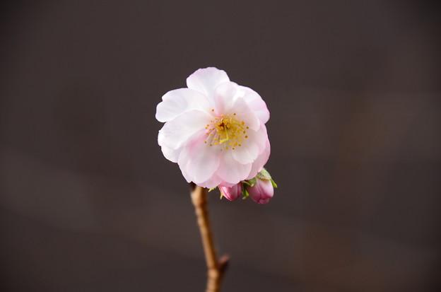 十月桜(ジュウガツザクラ)