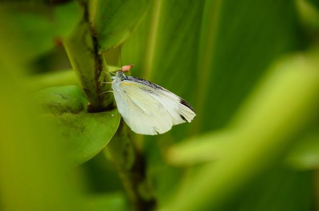 写真: 紋白蝶(モンシロチョウ)