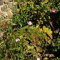 秋明菊と山茶花と南天