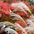 写真: 紅葉の前の薄