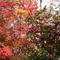 写真: 紅葉と山茶花(サザンカ)