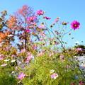 写真: 森のカフェ前の秋桜