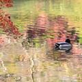 写真: 晩秋を泳ぐ