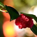 写真: 散策路の紅唐子