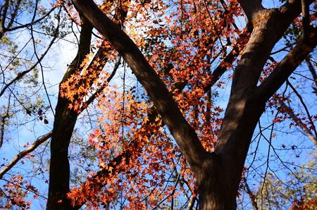 冬空の紅葉