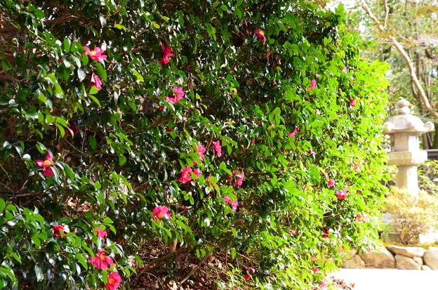 山茶花の参道