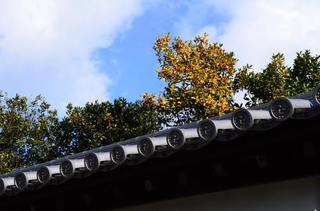 豊光寺の多羅葉(タラヨウ)