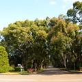 冬の楠並木