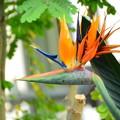 写真: 極楽鳥花(ゴクラクチョウカ)