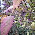ムラサキシキブ(紫式部)の果実 IMG_5450