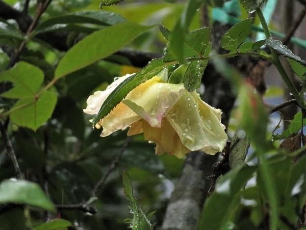 写真: 雨の日のバラ_7695