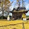 Photos: イチョウ(阿蘇神社)_9932