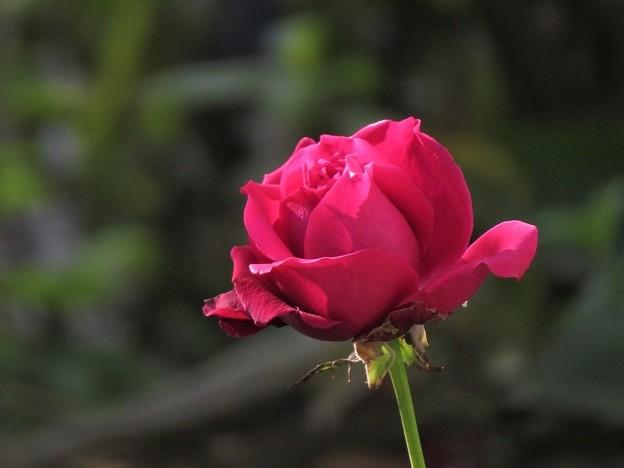 挿し木の薔薇赤_0914