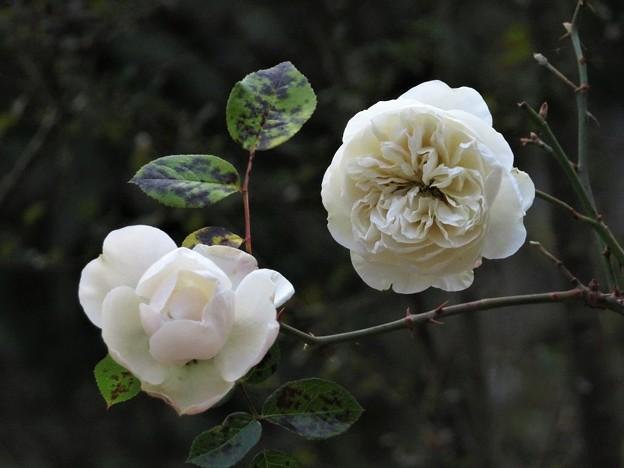 白い薔薇_1667