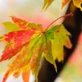 虫食いの紅葉