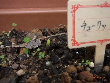 芽が出たチューリップ2