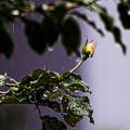 冷たい雨に咲く
