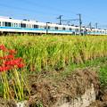 稲穂と彼岸花とアイボリーカラーの電車