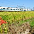 稲穂と彼岸花と小田急電車