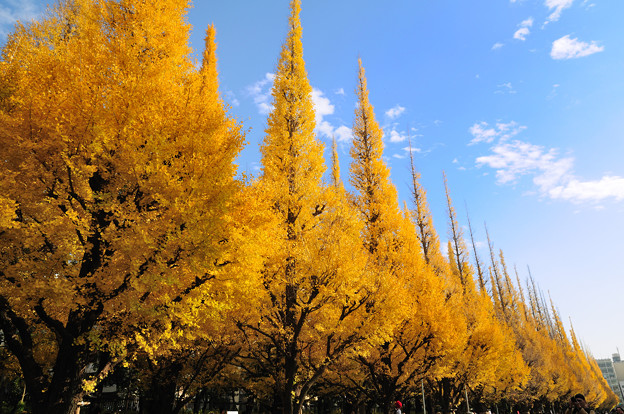 神宮いちょう並木