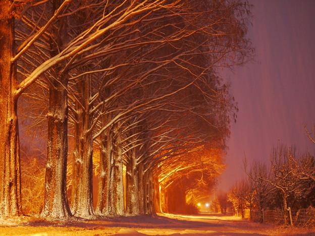 マキノメタセコイア並木道2