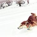 犬は雪大好きなのはホント