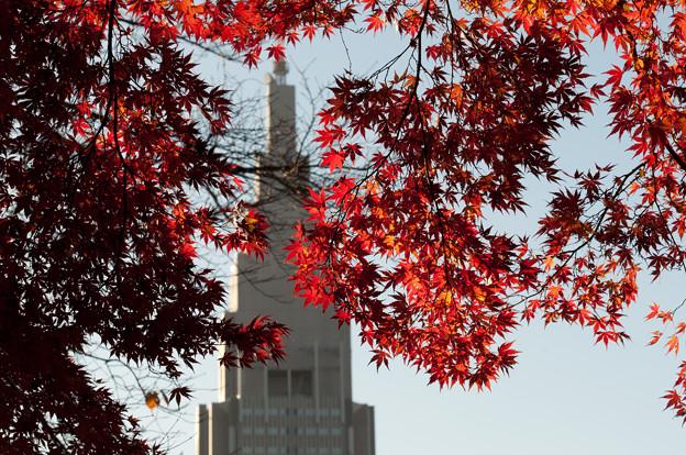 新宿御苑の紅葉・ドコモタワーとともに-2