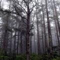 霧のカラマツ林