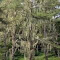 サルオガセ(猿麻薯)の森