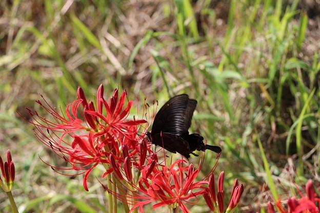 ヒガン花にクロアゲハ蝶