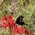 写真: ヒガン花にクロアゲハ蝶