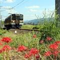 写真: ヒガン花と飯田線電車